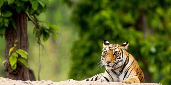 tiger-gallery-3
